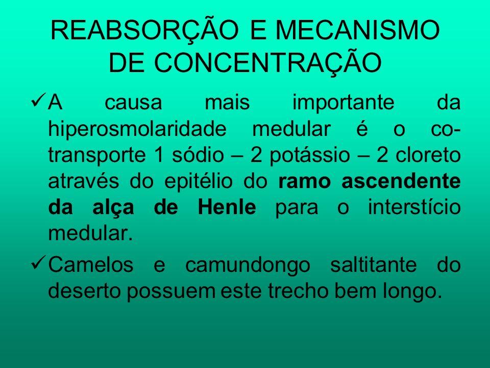 REABSORÇÃO E MECANISMO DE CONCENTRAÇÃO A causa mais importante da hiperosmolaridade medular é o co- transporte 1 sódio – 2 potássio – 2 cloreto atravé