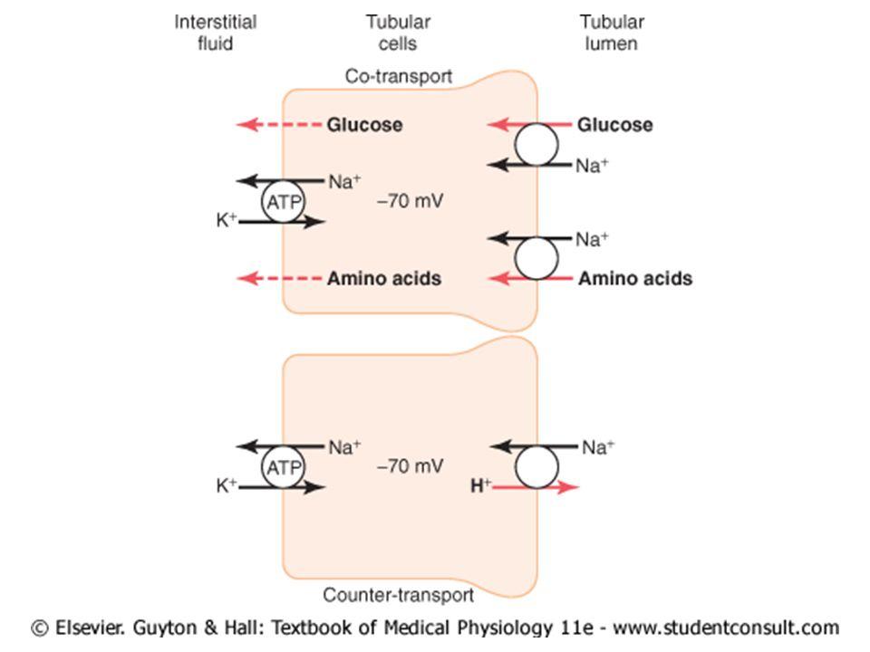 REABSORÇÃO E MECANISMO DE CONCENTRAÇÃO Passos para a excreção de uma urina concentrada: 1º Um nível alto de ADH; 1.1 Reabsorção de H 2 O pelo túbulo coletor cortical somente na presença de ADH.