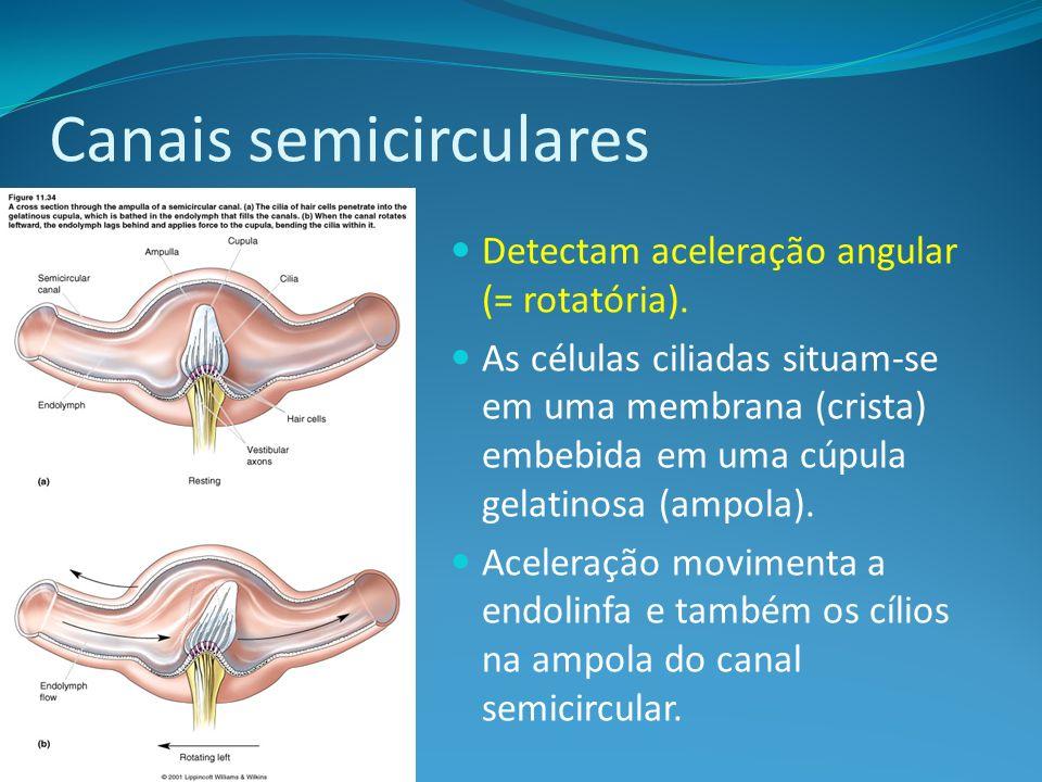 Canais semicirculares Detectam aceleração angular (= rotatória). As células ciliadas situam-se em uma membrana (crista) embebida em uma cúpula gelatin