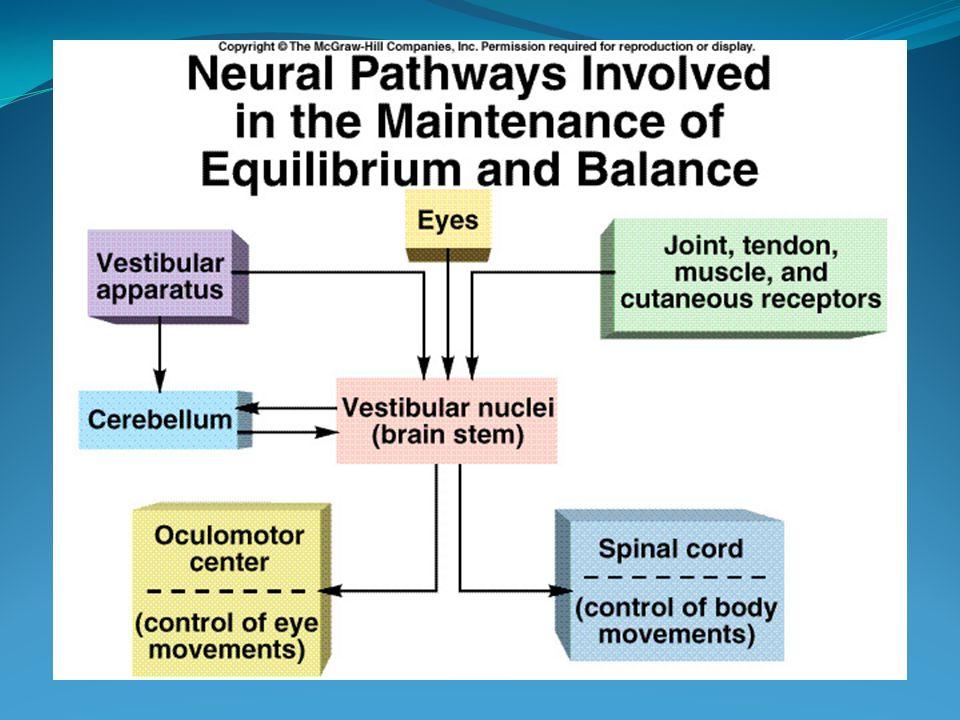 DOENÇA DE MÉNIÈRE Labirinto membranoso normalLabirinto membranoso dilatado (hidropsia endolinfática)