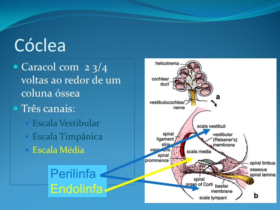 Cóclea Caracol com 2 3/4 voltas ao redor de um coluna óssea Três canais: Escala Vestibular Escala Timpânica Escala Média Perilinfa Endolinfa