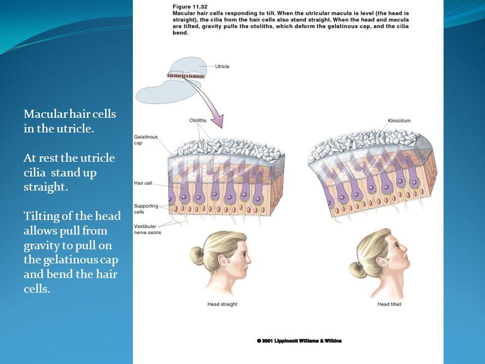 A mácula utricular é horizontal, enquanto a mácula sacular é vertical.