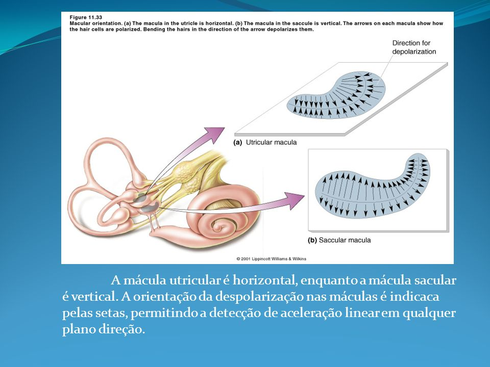 Bacterial Infections Toxic Labyrinthitis sterile inflammation bacterial toxins penetrate perilymphatic spaces mild hearing loss or mild vestibular loss usually resolves without sequelae Suppurative Labyrinthitis bacterial invasion of the inner ear intense inflammatory reaction progresses along four pathologic stages medical emergency
