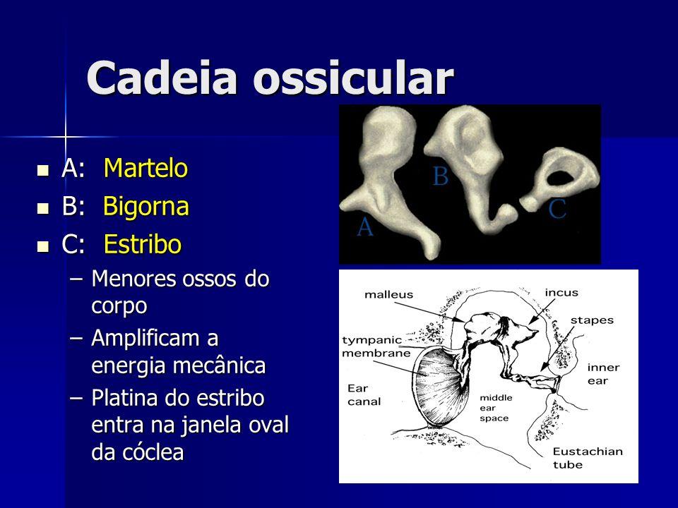 Sistema Vestibular 3 canais semicirculares 3 canais semicirculares Compartilha fluidos com a cóclea Compartilha fluidos com a cóclea EQUILÍBRIO EQUILÍBRIO