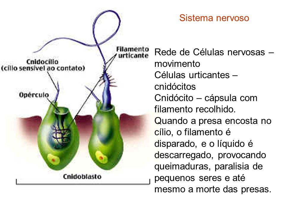 Sistema nervoso Rede de Células nervosas – movimento Células urticantes – cnidócitos Cnidócito – cápsula com filamento recolhido. Quando a presa encos
