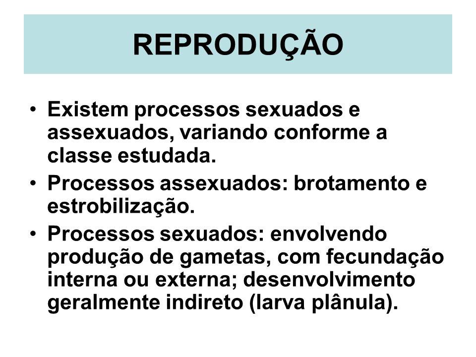 REPRODUÇÃO Existem processos sexuados e assexuados, variando conforme a classe estudada. Processos assexuados: brotamento e estrobilização. Processos