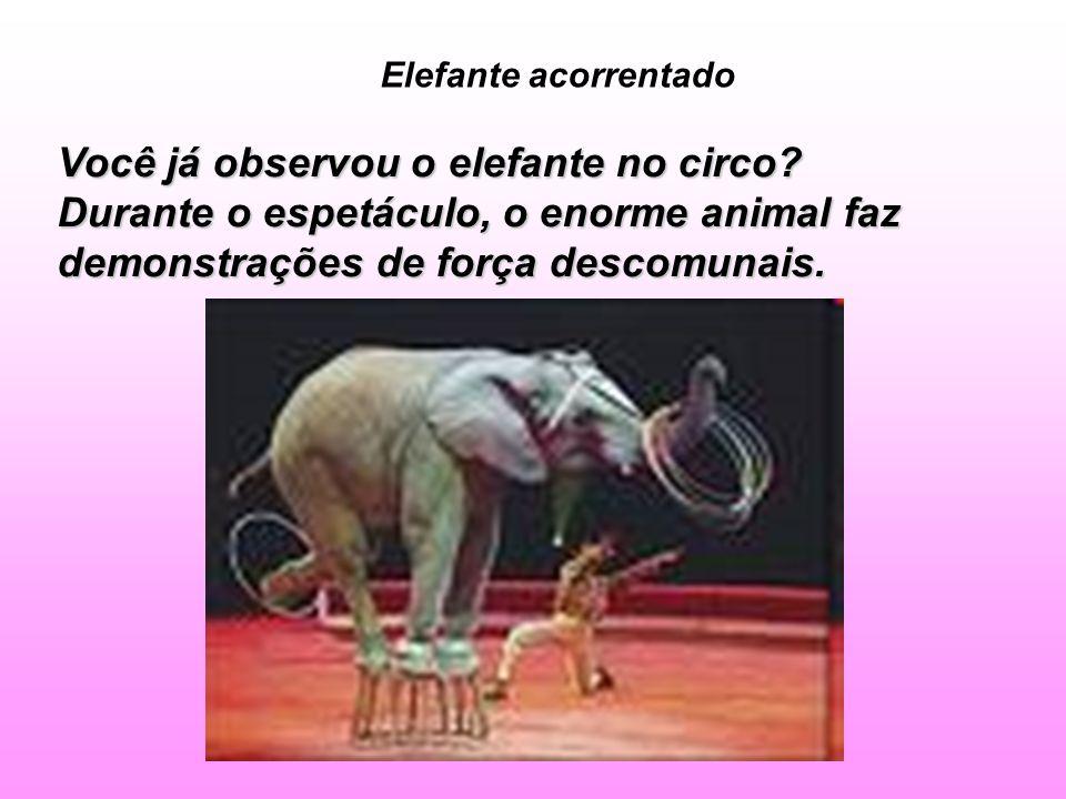 Elefante acorrentado Você já observou o elefante no circo? Durante o espetáculo, o enorme animal faz demonstrações de força descomunais.
