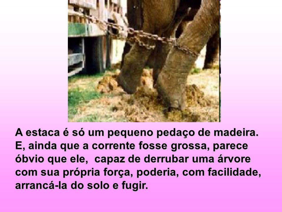 Que mistério! Por que o elefante não foge?