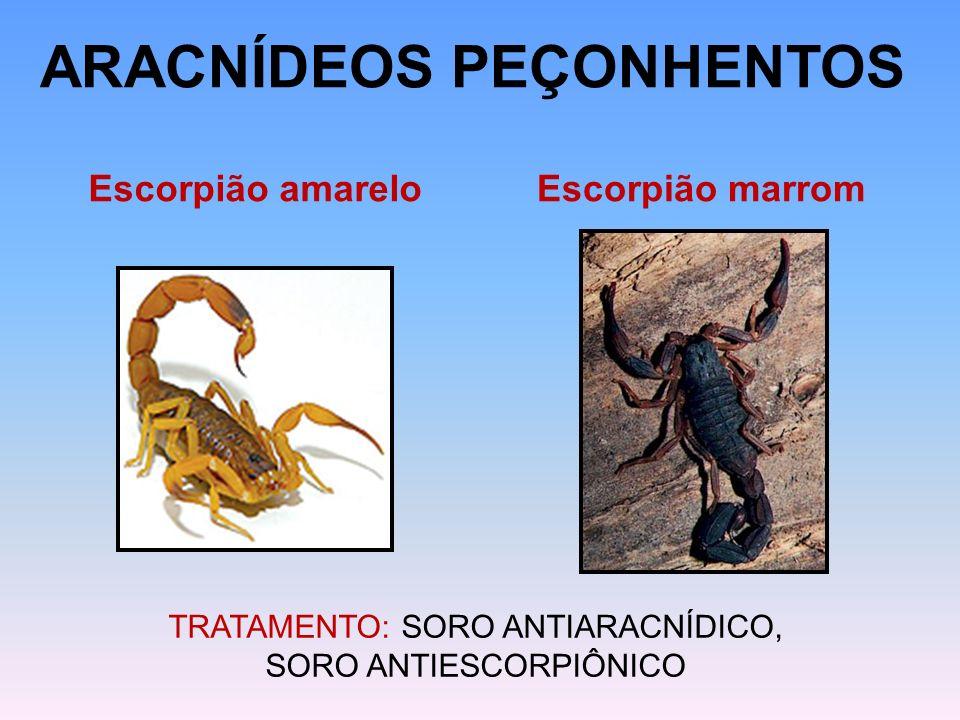 ARACNÍDEOS PEÇONHENTOS Escorpião amareloEscorpião marrom TRATAMENTO: SORO ANTIARACNÍDICO, SORO ANTIESCORPIÔNICO