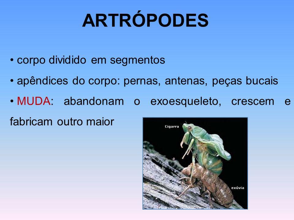 ARTRÓPODES corpo dividido em segmentos apêndices do corpo: pernas, antenas, peças bucais MUDA: abandonam o exoesqueleto, crescem e fabricam outro maio