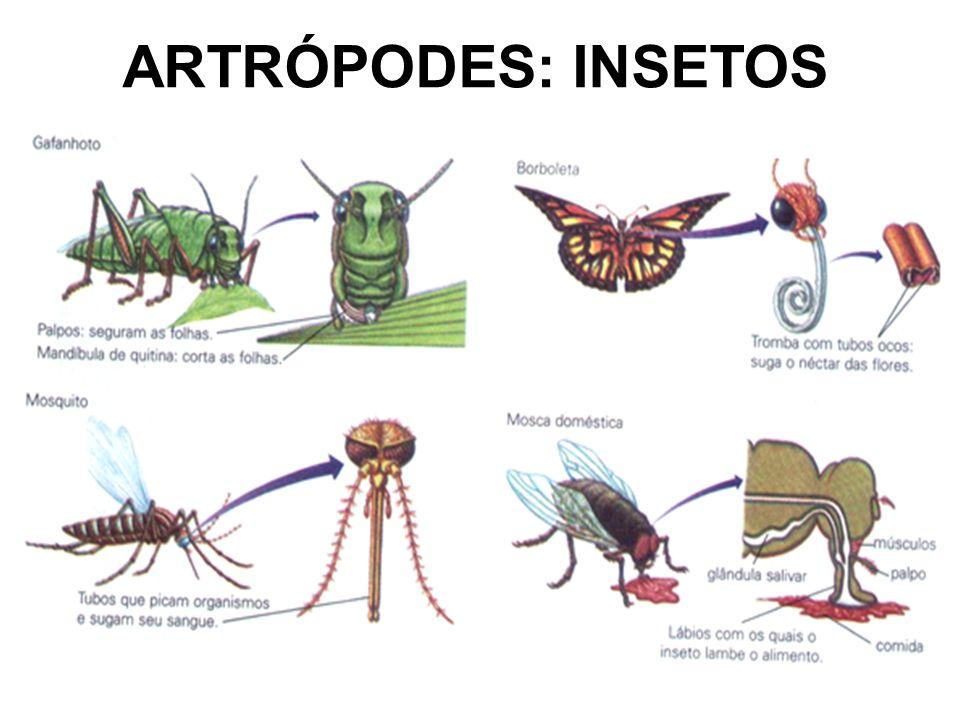 maioria terrestre CABEÇA: 1 par de antenas, ocelos e olhos compostos, peças bucais TÓRAX: 3 pares de pernas, 1 ou 2 pares de asas ABDOME