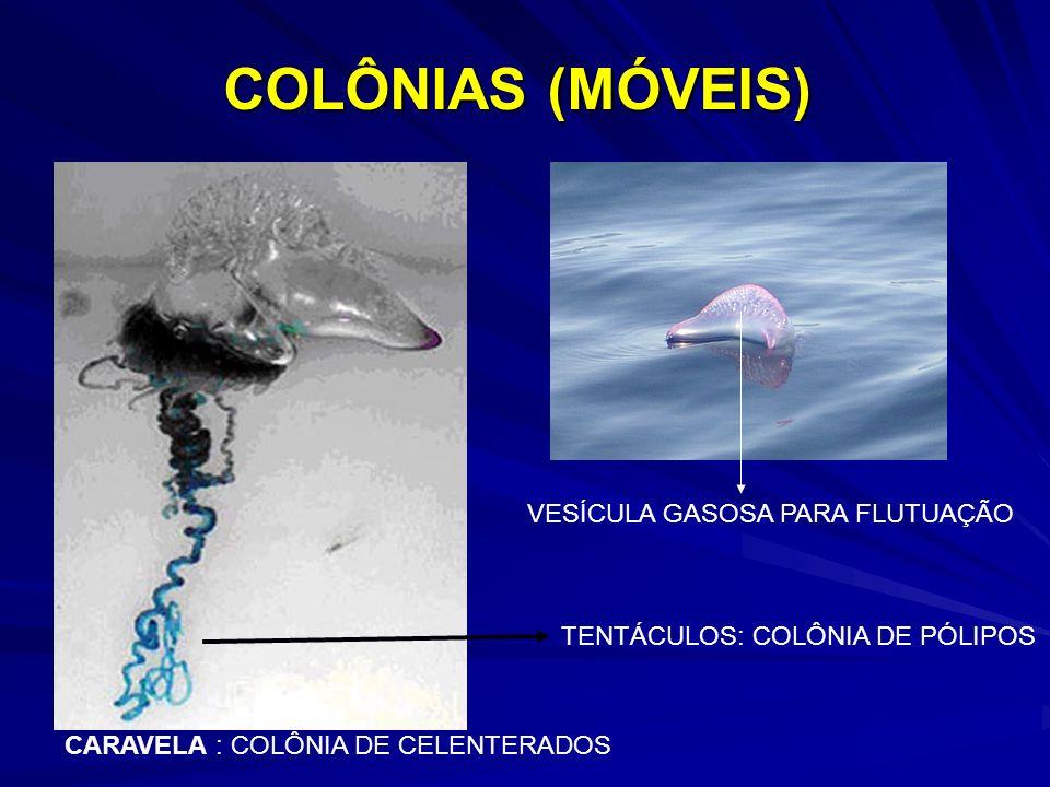 COLÔNIAS (MÓVEIS) CARAVELA : COLÔNIA DE CELENTERADOS TENTÁCULOS: COLÔNIA DE PÓLIPOS VESÍCULA GASOSA PARA FLUTUAÇÃO