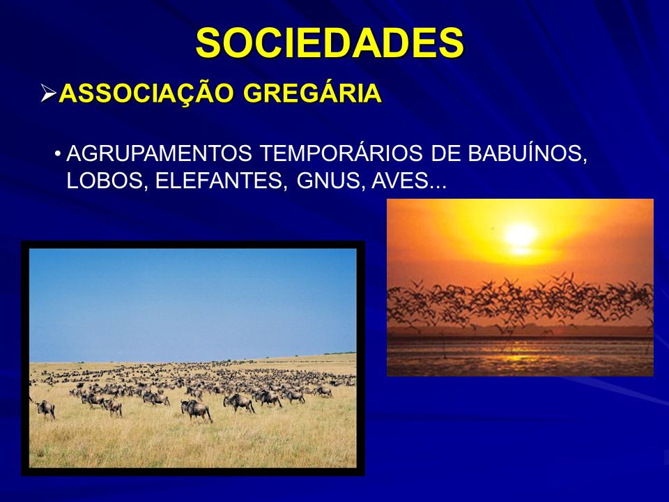 ASSOCIAÇÃO GREGÁRIA ASSOCIAÇÃO GREGÁRIASOCIEDADES AGRUPAMENTOS TEMPORÁRIOS DE BABUÍNOS, LOBOS, ELEFANTES, GNUS, AVES...