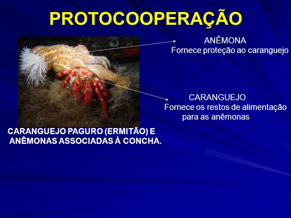 CARANGUEJO PAGURO (ERMITÃO) E ANÊMONAS ASSOCIADAS À CONCHA.PROTOCOOPERAÇÃO CARANGUEJO Fornece os restos de alimentação para as anêmonas ANÊMONA Fornec