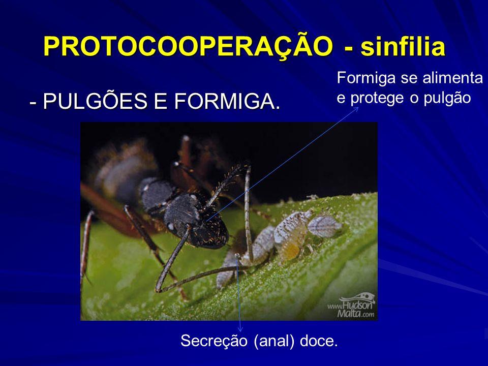 - PULGÕES E FORMIGA. PROTOCOOPERAÇÃO - sinfilia Secreção (anal) doce. Formiga se alimenta e protege o pulgão