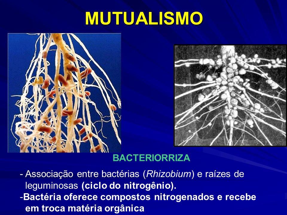 MUTUALISMO BACTERIORRIZA - Associação entre bactérias (Rhizobium) e raízes de leguminosas (ciclo do nitrogênio). -Bactéria oferece compostos nitrogena