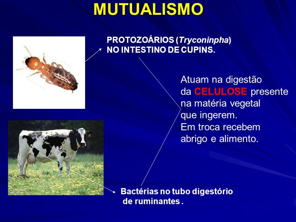 PROTOZOÁRIOS (Tryconinpha) NO INTESTINO DE CUPINS.MUTUALISMO Bactérias no tubo digestório de ruminantes. Atuam na digestão da CELULOSE presente na mat