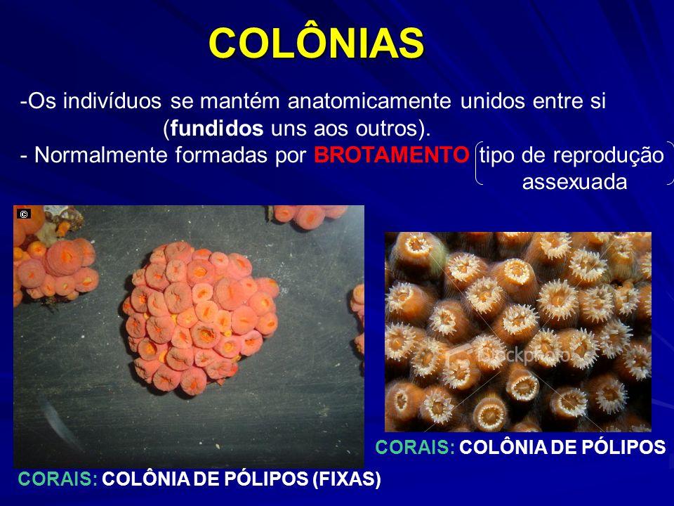 COLÔNIAS -Os indivíduos se mantém anatomicamente unidos entre si (fundidos uns aos outros). - Normalmente formadas por BROTAMENTO tipo de reprodução a