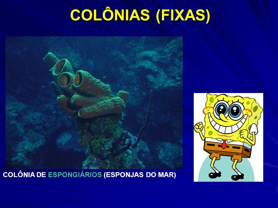 COLÔNIA DE ESPONGIÁRIOS (ESPONJAS DO MAR) COLÔNIAS (FIXAS)