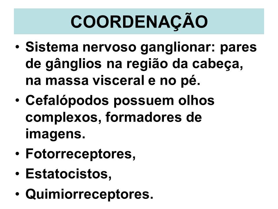 COORDENAÇÃO Sistema nervoso ganglionar: pares de gânglios na região da cabeça, na massa visceral e no pé. Cefalópodos possuem olhos complexos, formado