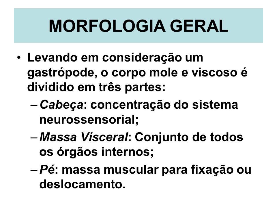 MORFOLOGIA GERAL Levando em consideração um gastrópode, o corpo mole e viscoso é dividido em três partes: –Cabeça: concentração do sistema neurossenso