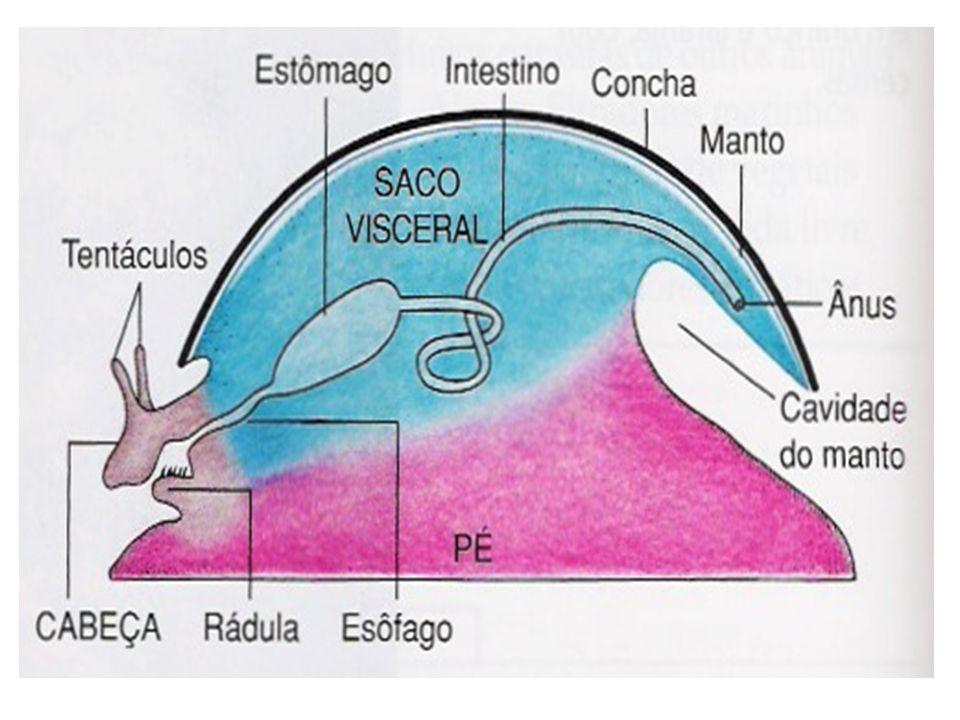 TEGUMENTO O corpo é revestido por um epitélio simples, ciliado e com glândulas mucosas.