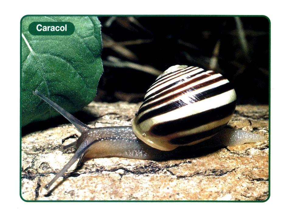 Cefalópodes Estes animais se locomovem auxiliados pelo movimento da água que passa por um tubo ou sifão que fica junto à cabeça.