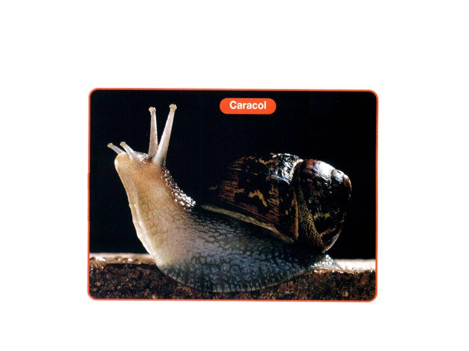 Características do corpo Há integrantes do grupo que há concha calcária externa.