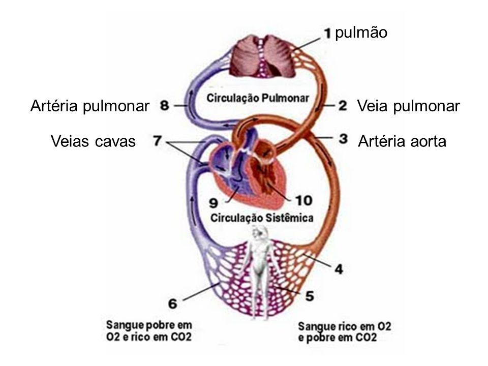 Veia pulmonarArtéria pulmonar Veias cavasArtéria aorta pulmão