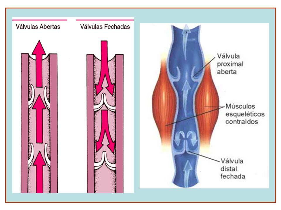 CORAÇÃO HUMANO Órgão muscular com contração involuntária que bombeia o sangue para as diversas partes do organismo.