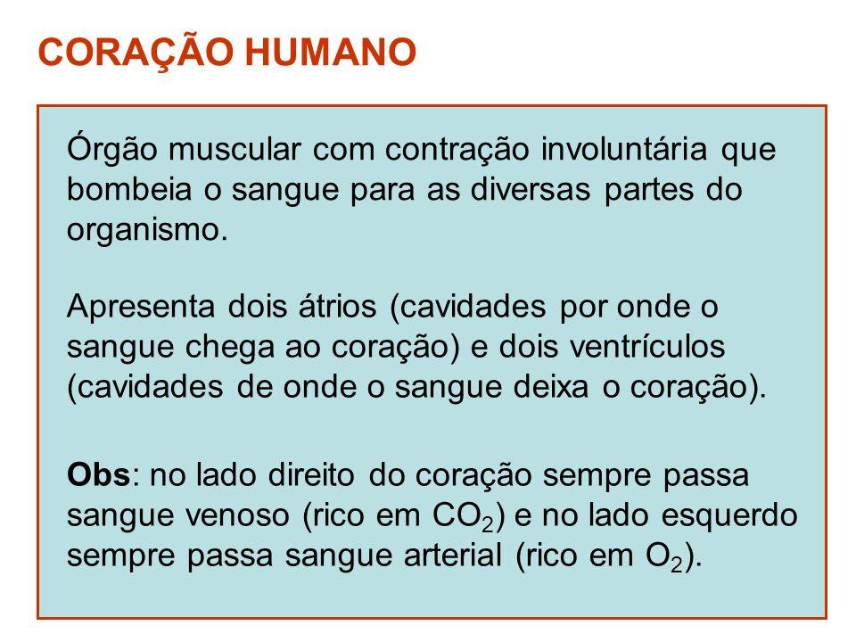 CORAÇÃO HUMANO Órgão muscular com contração involuntária que bombeia o sangue para as diversas partes do organismo. Apresenta dois átrios (cavidades p