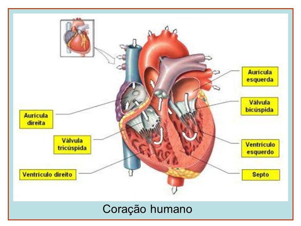 Movimentos cardíacos O estímulo para as pulsações cardíacas é gerado no próprio coração (nódulo sino-atrial ou marcapasso cardíaco localizado no átrio direito) Sístole: contração (pressão de 120 mmHg) Diástole: relaxamento (pressão de 80 mmHg)