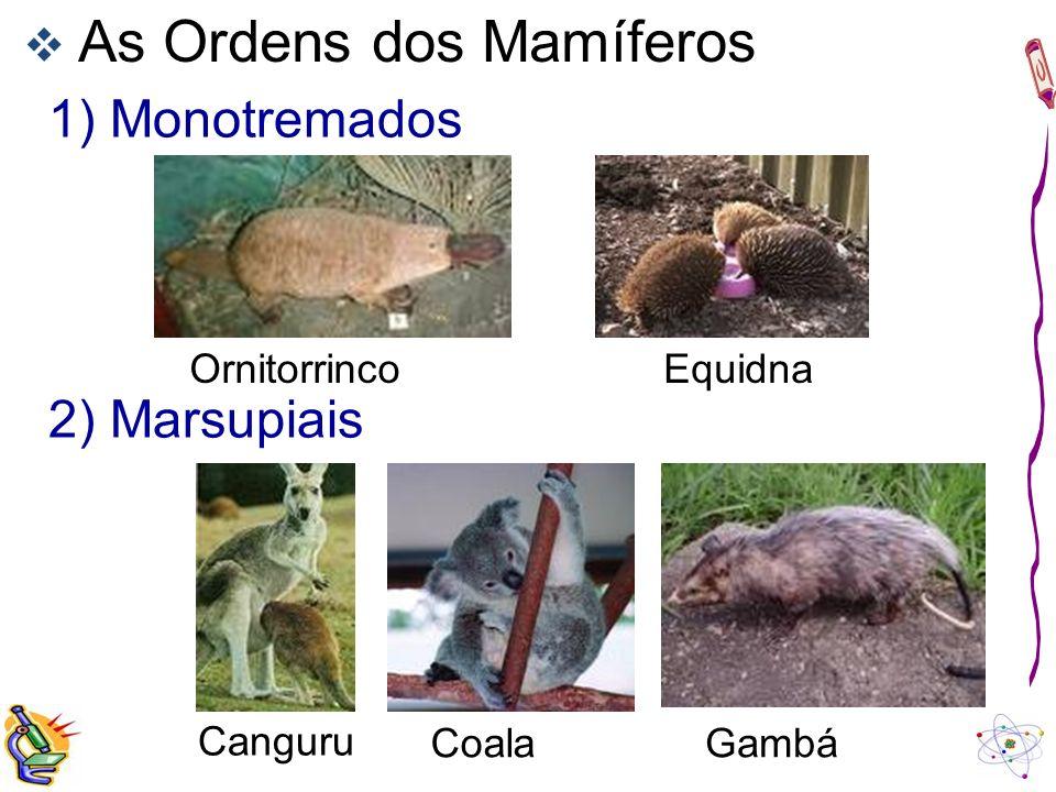 As Ordens dos Mamíferos 1) Monotremados OrnitorrincoEquidna 2) Marsupiais Canguru CoalaGambá