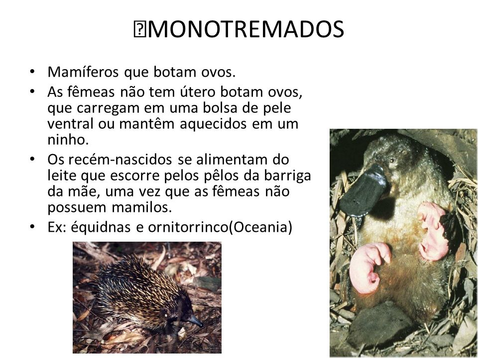 ‡MONOTREMADOS Mamíferos que botam ovos. As fêmeas não tem útero botam ovos, que carregam em uma bolsa de pele ventral ou mantêm aquecidos em um ninho.