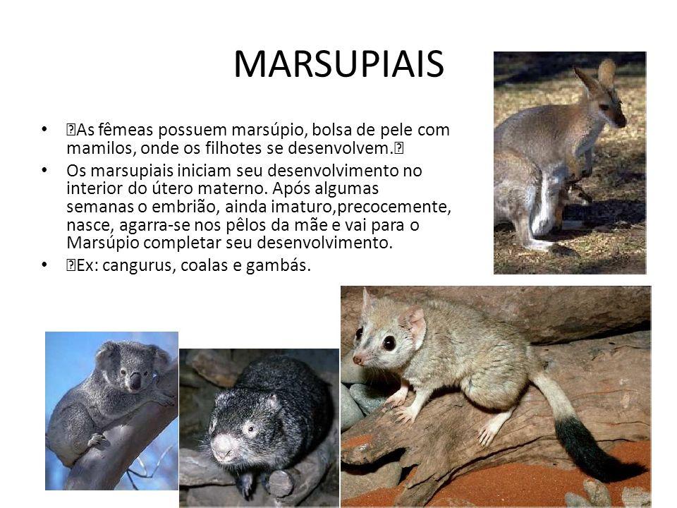 ‡As fêmeas possuem marsúpio, bolsa de pele com mamilos, onde os filhotes se desenvolvem.‡ Os marsupiais iniciam seu desenvolvimento no interior do úte