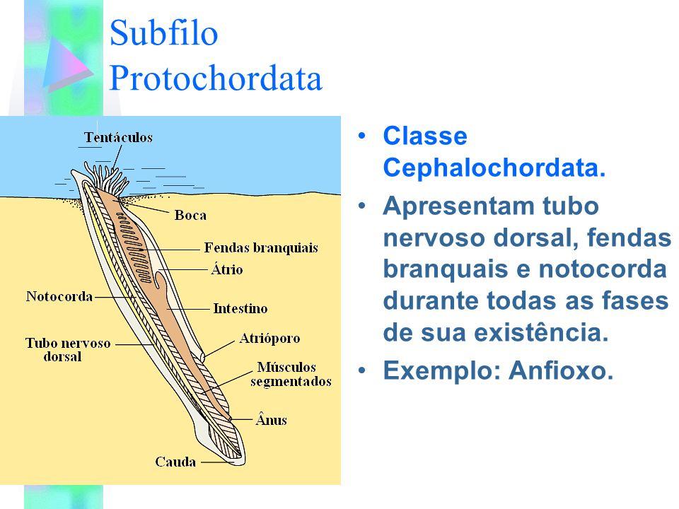 Subfilo Protochordata Classe Cephalochordata. Apresentam tubo nervoso dorsal, fendas branquais e notocorda durante todas as fases de sua existência. E