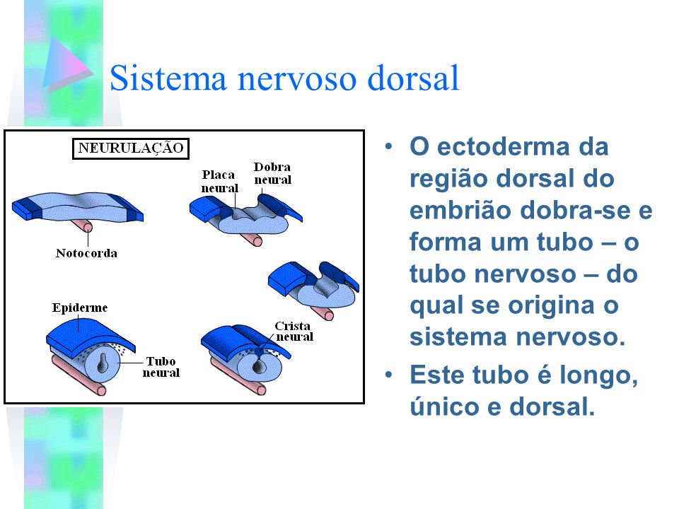 Notocorda Bastão firme e flexível, entre o tubo nervoso e o tubo digestório.