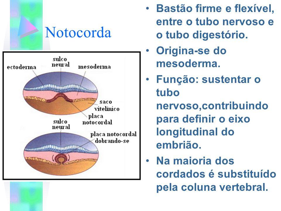 Notocorda Bastão firme e flexível, entre o tubo nervoso e o tubo digestório. Origina-se do mesoderma. Função: sustentar o tubo nervoso,contribuindo pa