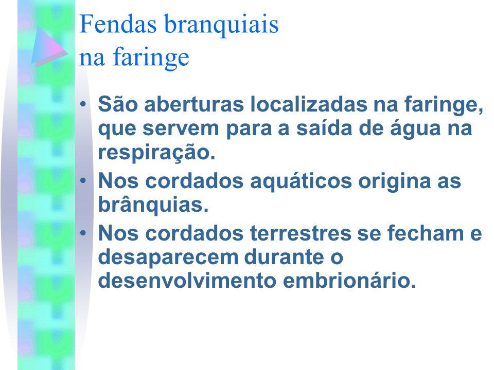 Fendas branquiais na faringe São aberturas localizadas na faringe, que servem para a saída de água na respiração. Nos cordados aquáticos origina as br