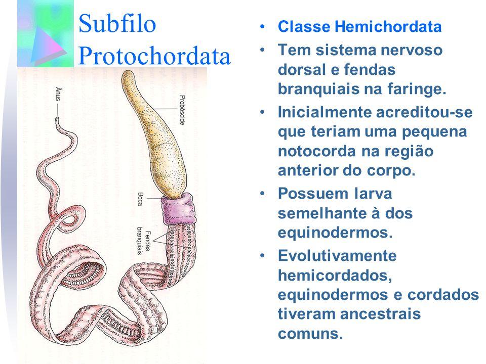 Subfilo Protochordata Classe Hemichordata Tem sistema nervoso dorsal e fendas branquiais na faringe. Inicialmente acreditou-se que teriam uma pequena