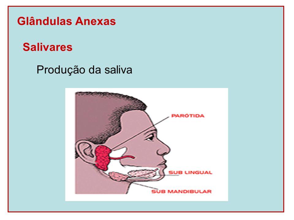 Glândulas Anexas Salivares Produção da saliva