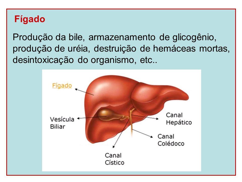 Fígado Produção da bile, armazenamento de glicogênio, produção de uréia, destruição de hemáceas mortas, desintoxicação do organismo, etc..