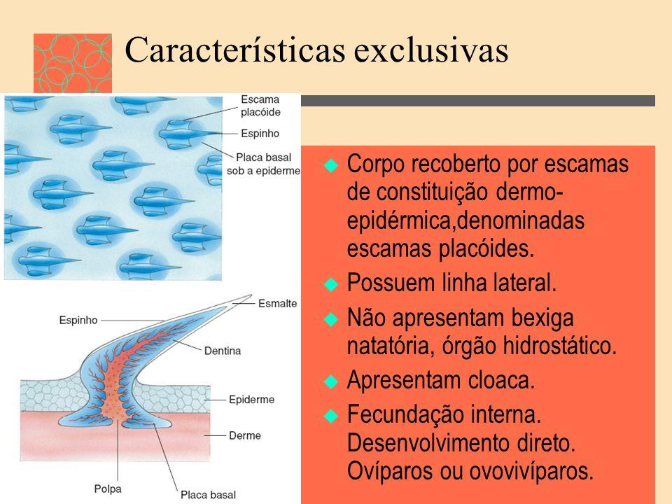 Características exclusivas Corpo recoberto por escamas de constituição dermo- epidérmica,denominadas escamas placóides. Possuem linha lateral. Não apr