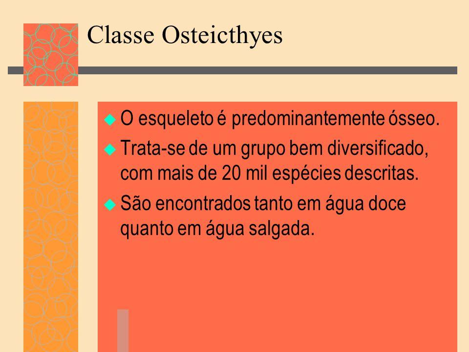 Classe Osteicthyes O esqueleto é predominantemente ósseo. Trata-se de um grupo bem diversificado, com mais de 20 mil espécies descritas. São encontrad