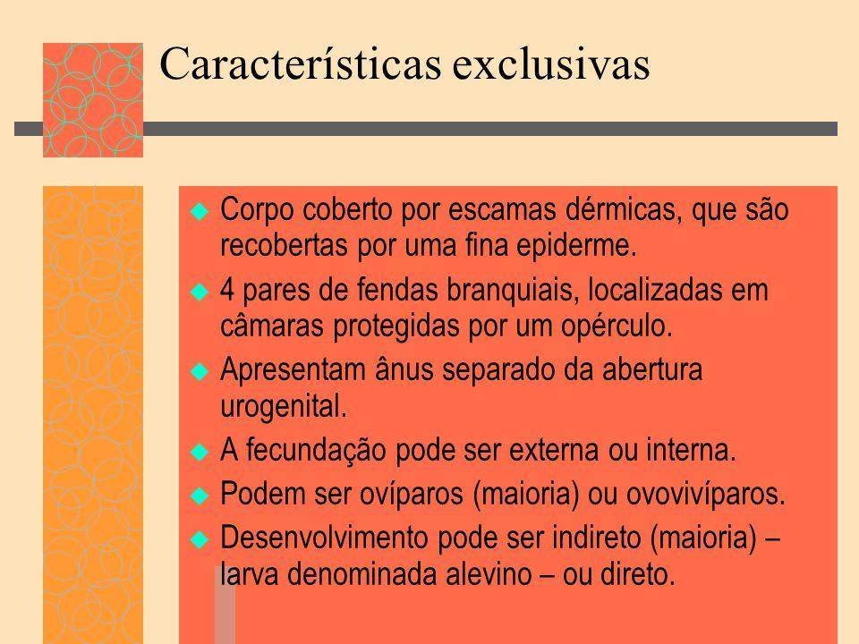 Características exclusivas Corpo coberto por escamas dérmicas, que são recobertas por uma fina epiderme. 4 pares de fendas branquiais, localizadas em