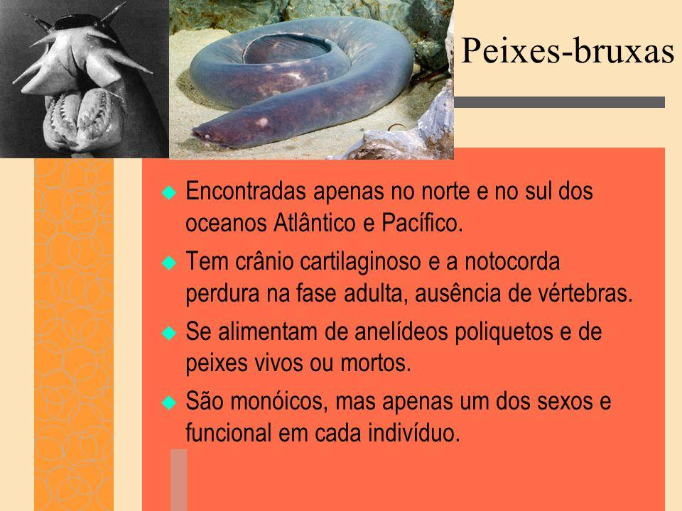 Peixes-bruxas Encontradas apenas no norte e no sul dos oceanos Atlântico e Pacífico. Tem crânio cartilaginoso e a notocorda perdura na fase adulta, au