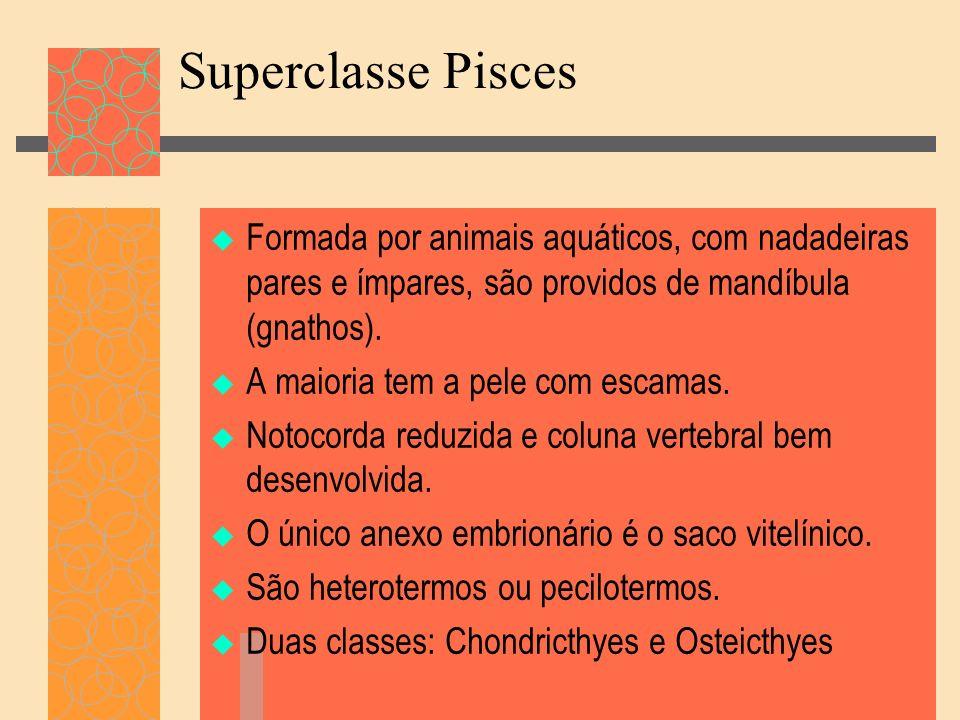 Superclasse Pisces Formada por animais aquáticos, com nadadeiras pares e ímpares, são providos de mandíbula (gnathos). A maioria tem a pele com escama
