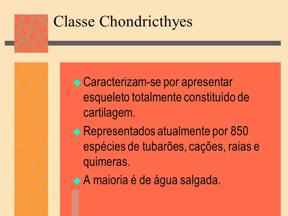Classe Chondricthyes Caracterizam-se por apresentar esqueleto totalmente constituído de cartilagem. Representados atualmente por 850 espécies de tubar