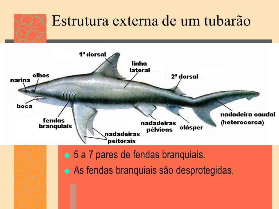 Estrutura externa de um tubarão 5 a 7 pares de fendas branquiais. As fendas branquiais são desprotegidas.