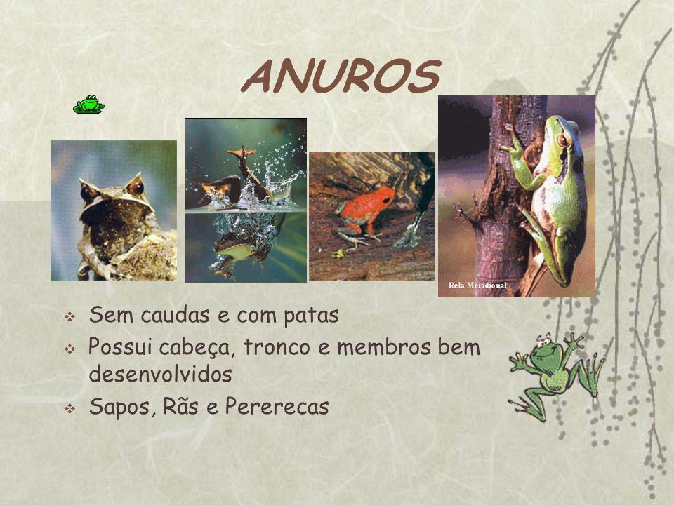 ANUROS Sem caudas e com patas Possui cabeça, tronco e membros bem desenvolvidos Sapos, Rãs e Pererecas